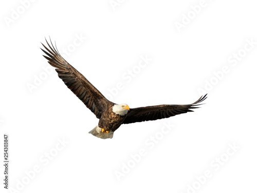 Poster Aigle American bald eagle with spread wings isolated on white background