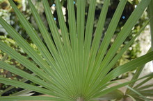 Large Palm Leaves