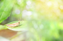 Green Meadow Grasshopper On Plant Soft Focus Nature Light Blur Background