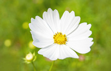 White Cosmos Flower Blossoming In The Spring Garden
