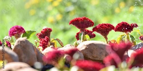 Valokuvatapetti Red and pink Celosia cristata or cockscomb flower field garden colorful blossom