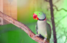 Green Parrot Pet Bird In The Cage / Beautiful Rose Ring Necked Alexandrine Parakeet Bird