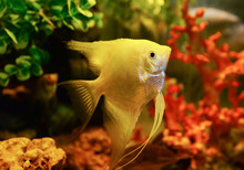 White Silver Angelfish Swimmin...