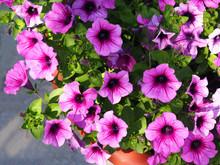 Pink Petunia Flowers Bloom
