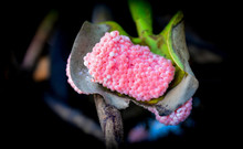 Group Of Pink Egg Applesnail On Plant On The Rive / Freshwater Shell