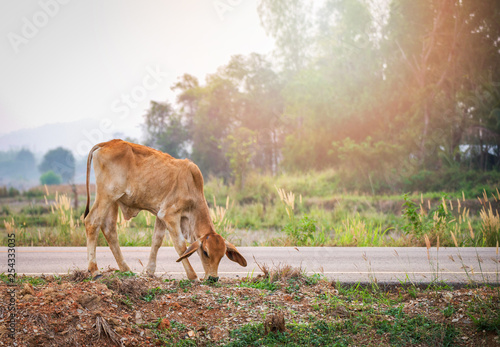 Photo  Red cow grazing grass on roadside in the country field background