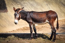 Brown And Black Donkey Standin...