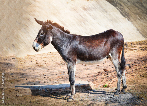 Fotografia Brown and black donkey standing eat graze in the donkey and horse farm mammal an