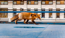 Fox Walking On A Metal Roof