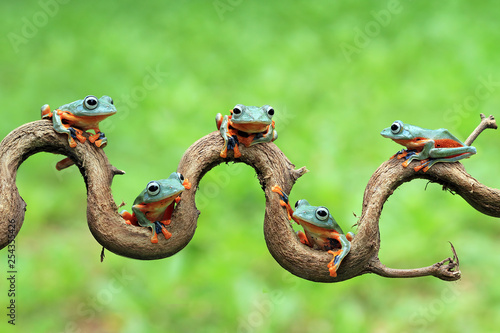 Photo sur Toile Grenouille Javan tree frog on aitting on branch, flying frog on branch, tree frog on branch