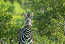 Zebra Pulling Faces And Smacking Lips In The Afternoon Glow Of Summer