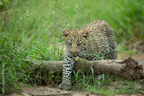 Foto  Leopard cub gingerly moving about and drinking water
