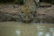 Leopard Cub Gingerly Moving About And Drinking Water