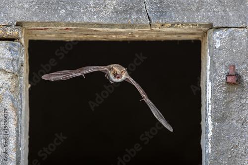 Pinturas sobre lienzo  Natterers bat flying through window