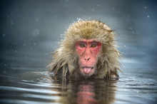 The Japanese Macaque At Jigokudani Hotsprings. Japanese Macaque,Scientific Name: Macaca Fuscata, Also Known As The Snow Monkey.