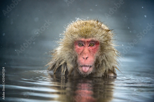 Autocollant pour porte Singe The Japanese macaque at Jigokudani hotsprings. Japanese macaque,Scientific name: Macaca fuscata, also known as the snow monkey.