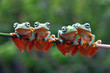 Javan tree frog on aitting on branch, flying frog on branch, tree frog on branch