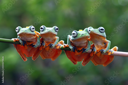 Tela Javan tree frog on aitting on branch, flying frog on branch, tree frog on branch