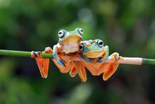 Javan Tree Frog On Aitting On ...