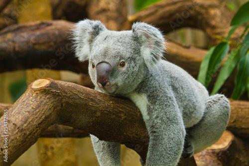 Naklejki koala  koala-phascolarctos-cinereus