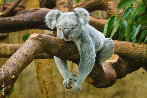 Canvas Prints Koala Koala (Phascolarctos cinereus)