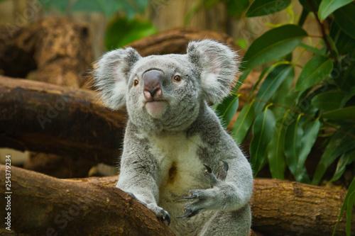 Photo Stands Koala Koala (Phascolarctos cinereus)