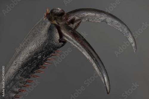 Fototapeta Ground beetle claw under microscope.