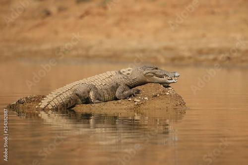Mugger crocodile in the nature habitat, crocodile on the river sanctuary, Crocodylus palustris, marsh crocodile, indian wildlife Fototapete