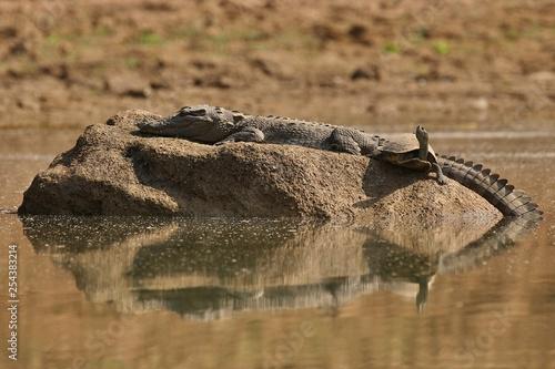 Mugger crocodile in the nature habitat, crocodile on the river sanctuary, Crocodylus palustris, marsh crocodile, indian wildlife Fototapet