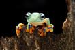 Javan tree frog on wood, tree frog on wood, closeup frog