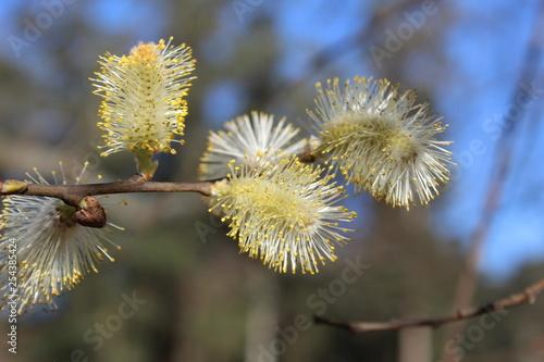 Foto  Flores de avellano