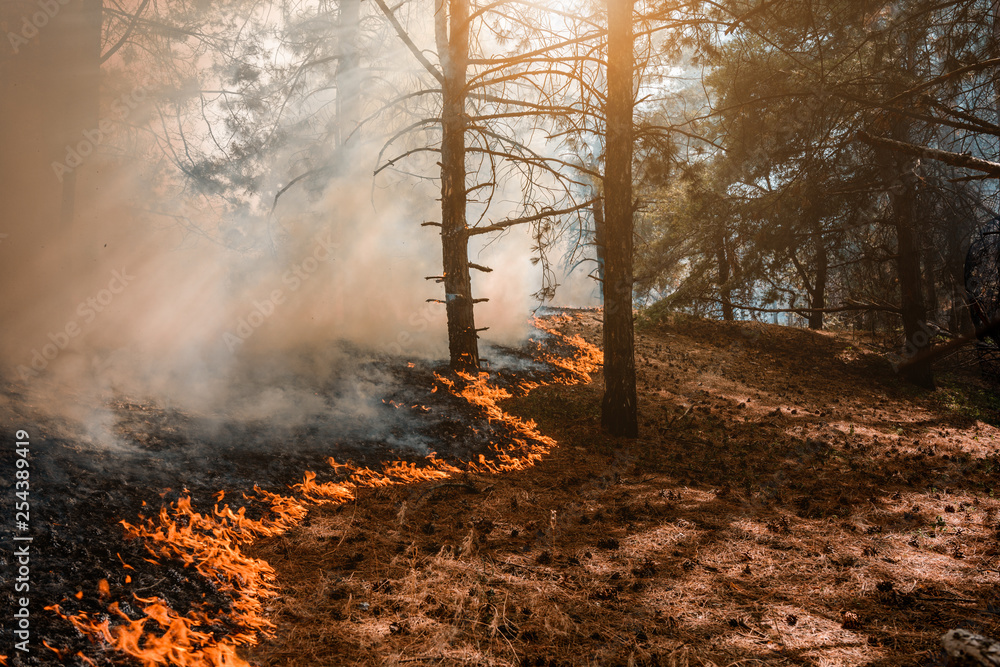 Fototapeta Forest Fire, Wildfire burning tree in red and orange color.