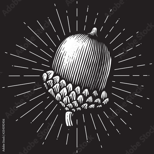 Foto acorn- vintage engraved vector illustration (hand drawn style)