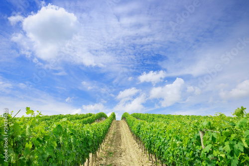 Włoski widok, rzędy zielonych winorośli