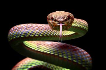 Viper zmija izbliza lice spremno za napad