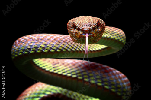 Fototapeta Viper snake closeup face ready to attack