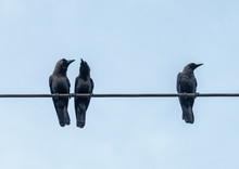Crows On The Cable
