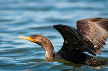 Double-crested Cormorant With ...