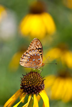 Great Spangled Fritillary Butterfly On A Coneflower
