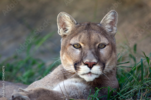 Tuinposter Puma Portrait of a Mountain Lion