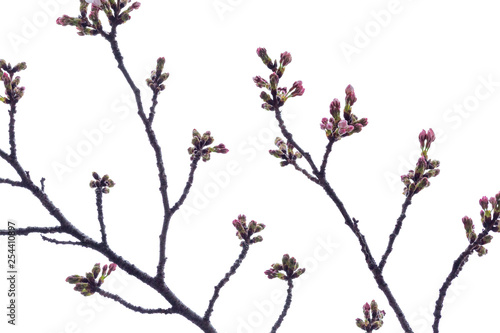 Photo  Sakura branch with unopened buds, isolated on white background
