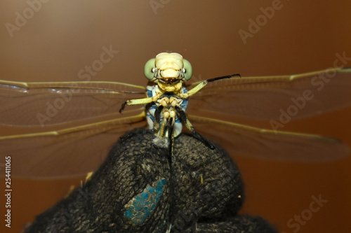 Obraz na plátně Funny dragonfly like a dictator in man's hand with gloves