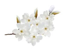 White Magnolia Flower Isolated On White Background.