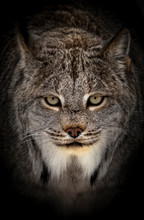 Portrait Of A Bobcat With Blac...