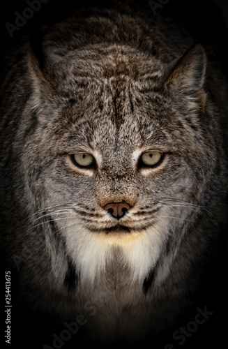 Photo portrait of a bobcat with black background