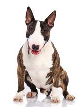 Bullterrier Dog  Isolated  On White Background In Studio