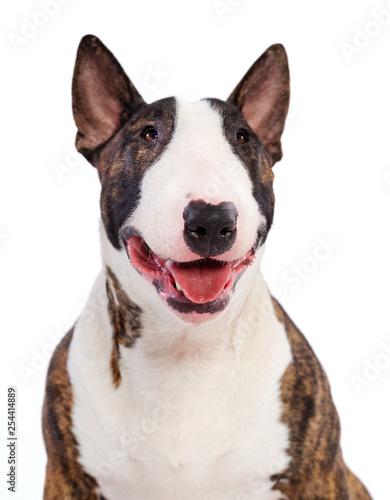 Bullterrier Dog  Isolated  on white Background in studio Fototapet