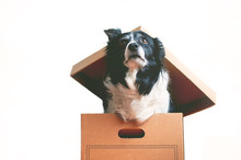 Dog In Paper Box. The Topic Of Inappropriateness Of Donating Live Animals. Border Collie.