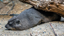 Rock Hyrax Also Called Rock Ba...