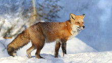 Red Fox In Nature During Winter